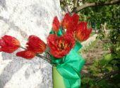 Тюльпаны — самоцветы