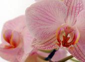 Вам подарили орхидею и не сказали как за ней ухаживать?